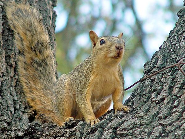 fox squirrel picture