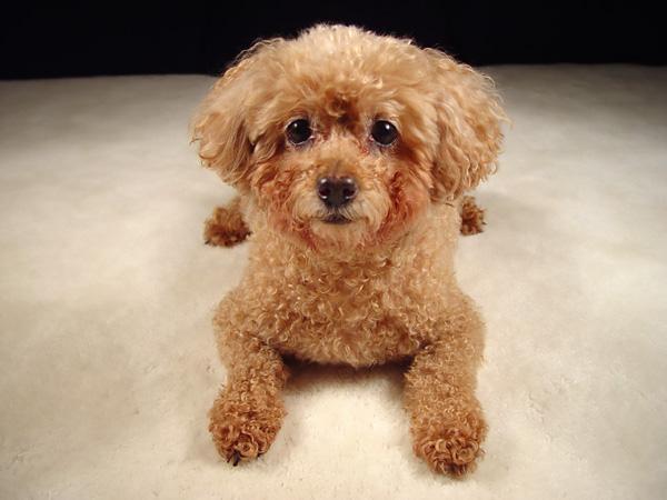 В самом деле, пудели очень умные собаки, и способны не только на то