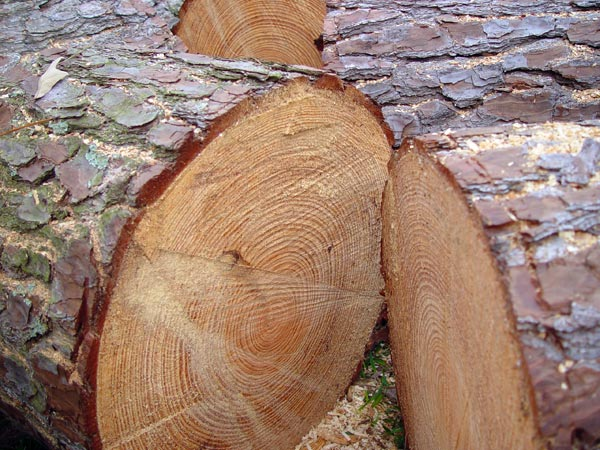 Greenheart timber related keywords suggestions Pine tree timber